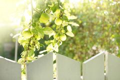 Greener on the Other Side. Green Fresh Apples Growing Behind a Fence Royalty Free Stock Photo
