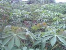 Cassava plantation stock photography