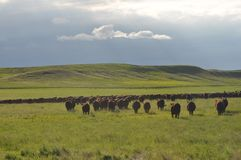 Greener Pastures. Cows move to high ground before the storm Royalty Free Stock Photos