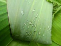 Greeneryï¼ bladeren ŒLotus en dauw, groene installaties stock afbeelding