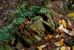 greenery пущи величает вал пня Стоковая Фотография RF