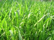 Greenery. Bright green field Stock Photos