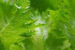 Greenery abstract vegetable blurred background Royalty Free Stock Images