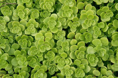 Greenery background. Bright green plants covering, background Stock Photo