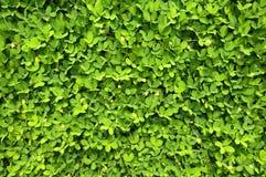 Greenery background. Background of Greenery -close up Stock Image