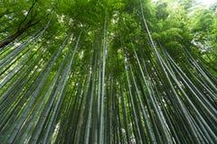 Greenery bambusa las Zdjęcie Stock
