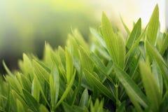 Greenery close-up. Shallow dof Royalty Free Stock Image