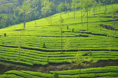 Greenery... The green nature, peace, calm, serene. Feel the aroma of tea plantation in the air Royalty Free Stock Photography