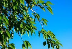 Greenery leaves on green background. Poplar tree branch macro view.  stock photography
