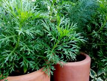 Greenery between pots. In a domestic winter garden southern spain Stock Photography