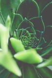 Greenery round swirl succulent extreme macro horizontal shot Royalty Free Stock Photos