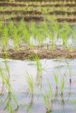 Greenery ryż pola podczas pory deszczowa w wsi Tajlandia Selekcyjna ostrość Zdjęcia Stock