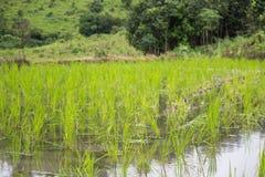 Greenery ryż pola podczas pory deszczowa w wsi Tajlandia Selekcyjna ostrość Zdjęcie Royalty Free