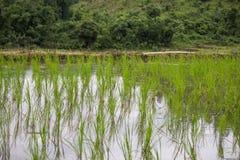 Greenery ryż pola podczas pory deszczowa w wsi Tajlandia Selekcyjna ostrość Zdjęcie Stock