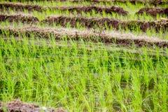 Greenery ryż pola podczas pory deszczowa w wsi Tajlandia Selekcyjna ostrość Zdjęcia Royalty Free