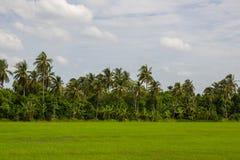 Greenery ryż pola z kokosowymi drzewami w tle w wsi Tajlandia Fotografia Stock