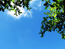 Greenery of tree leaves againt blue sky. Stock Photo