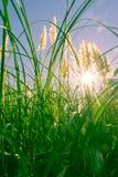 Greenery w pampasach z obiektywem migocze zdjęcia stock