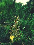 Yellow flower. Greenery with yellow flower plant royalty free stock photos