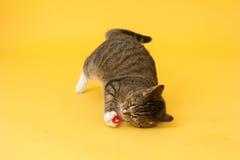 Greeneyed katt för strimmig katt som spelar med leksaken Arkivbilder