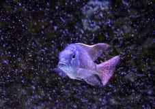 Greenface sandsifter fish (Lethrinops furcifer) swimming among b Stock Photography