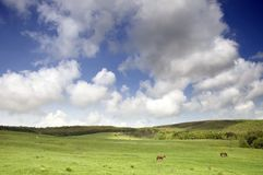 Greenfield with horses and blue sky Royalty Free Stock Photos