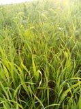 Greenfield stäpp, soluppgång, dagg, gräs Royaltyfria Bilder