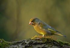 Greenfinch在早晨光的Carduelis虎尾草属 库存图片