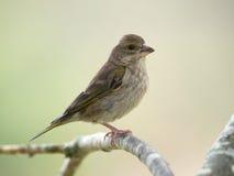 Greenfinch,女性(Carduelis虎尾草属) 库存照片