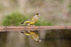 Greenfinch, Carduelis虎尾草属, 库存图片