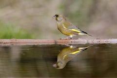 Greenfinch, Carduelis虎尾草属, 免版税库存照片
