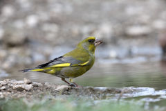 Greenfinch, Carduelis虎尾草属 免版税图库摄影