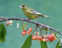 Greenfinch, carduelis虎尾草属 库存图片