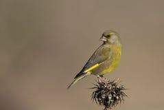 Greenfinch σε έναν κάρδο που ξανακοιτάζει Στοκ Εικόνα