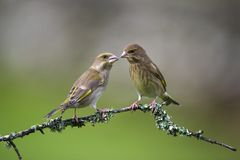 2 Greenfinch враждуя Стоковое Фото