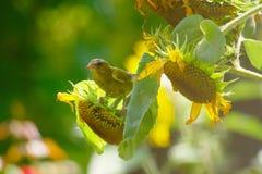 Greenfinch и солнцецветы стоковое изображение