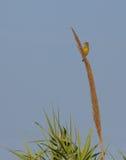 Greenfinch на цветках тросточки Стоковая Фотография