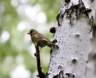 Greenfinch птицы птицы леса с латинской хлоридой щегла имени Стоковые Изображения