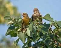 greenfinch семьи Стоковая Фотография RF