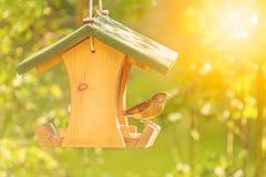 Greenfinch с фидером семени стоковое фото