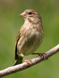 Greenfinch fotografia stock