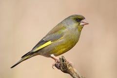greenfinch Royaltyfria Bilder