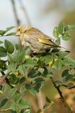 greenfinch Arkivfoto