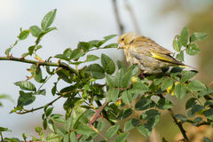 Greenfinch Royalty Free Stock Image