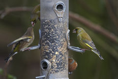 Greenfinch Stock Photos