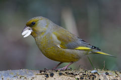 Greenfinch. Finch eating a sunflower seed Stock Photos