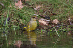 Greenfinch Images stock