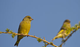 Greenfinch. Is perching on a tree branch royalty free stock photography