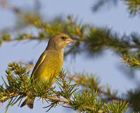 Greenfinch. Is perching on a tree branch royalty free stock photo