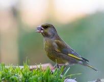 Greenfinch Zdjęcie Stock